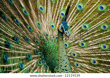 attractive indian peacock - stock photo