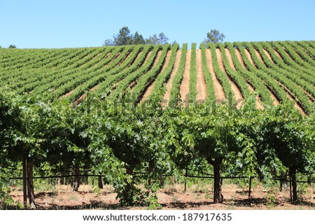 Attractive Napa Vineyard in mid-summer - stock photo