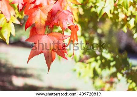 atumn leaves of a liquidambar tree - stock photo