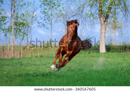 Auburn free horse galloping across a green field on a beautiful background. - stock photo