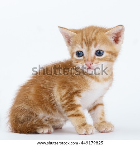 Auburn striped kitten sits on a white background.