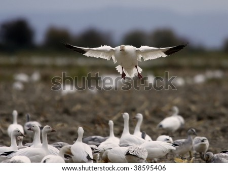 Audience of snow geese watches a landing in a field - stock photo