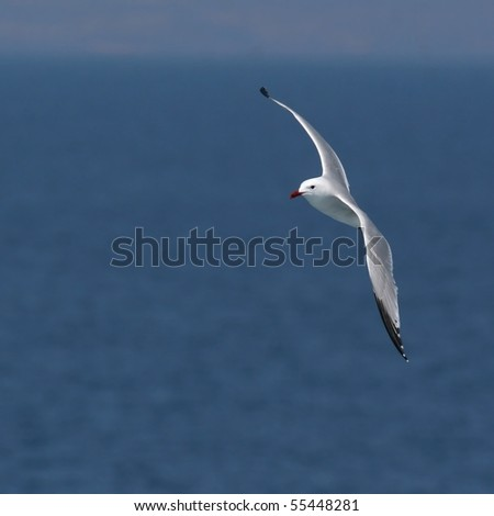 Audouin's gull in flight against both blue sea and sky - stock photo