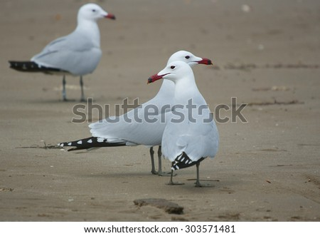 Audouins's gull ( Larus audouinii),in the P.N of  Deltebre,Catalonia,Spain - stock photo