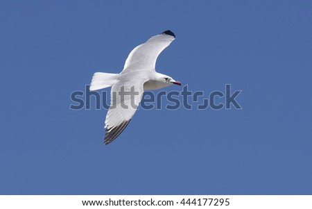 Audouins's gull ( Larus audouinii),in the P.N of Deltebre,Catalonia,Spain - stock photo