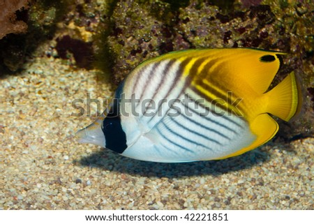 Auriga Butterflyfish in Aquarium - stock photo