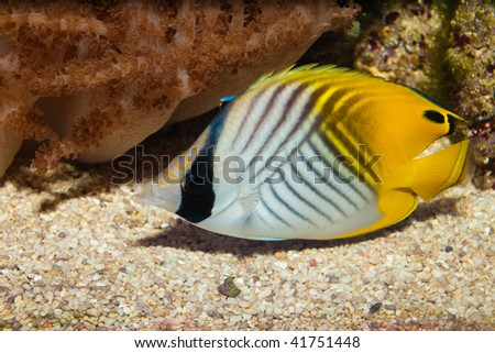 Auriga or Threadfin Butterflyfish - stock photo