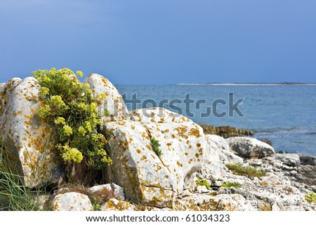 Aurinia saxatilis (Basket of Gold, Gold-dust, Rock madwort) on rock with brown moss and the sea in background - stock photo