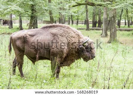 Aurochs in Bialowieski National Park - Poland. - stock photo