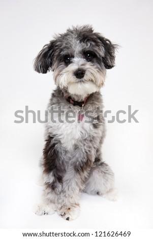Aussie poodle mix dog wearing santa hat - stock photo