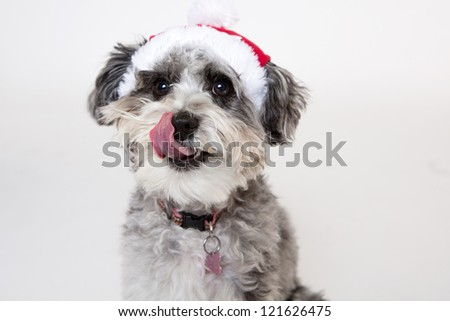 Aussie poodle mix dog wearing santa hat