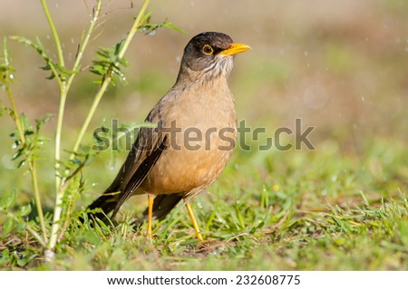 Austral Thrush (Turdus falcklandii magellanicus) wet, looking for food in the rain. Patagonia, Argentina, South America. - stock photo