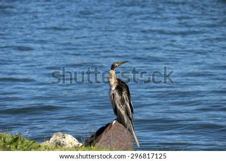Australasian darter or Australian darter (Anhinga novaehollandiae)   in  darter family drying its wings on a  brown rock   in Leschenault Estuary Bunbury Western Australia  on a cloudy winter  day.
