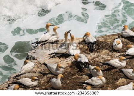 Australasian Gannets in courtship - stock photo