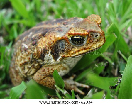 Australia Big toad - stock photo