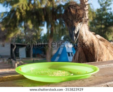 Australia, Monkey Mia, 01/04/2015, Australian emu looking at an empty plate on a table - stock photo