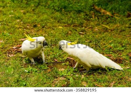 Australia. The State Of Victoria. Parrots cockatoo.  - stock photo