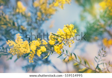 Australia Winter and spring golden yellow wildflowers Acacia
