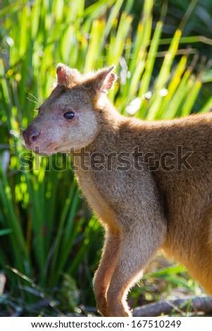 Australian agile wallaby on beach. Jervis Bay National Park, New South Wales, Australia - stock photo