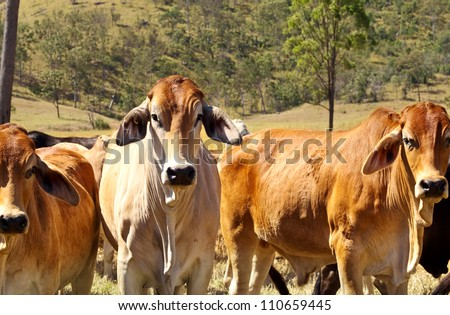 Australian Beef - Cattle Country with three red brown brahman cows - stock photo
