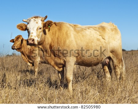 Australian beef cattle in dry winter pasture with blue sky - stock photo