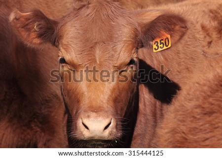 Australian beef shorthorns are known for their good temperament and carcass quality..  Although colour ranges from red to roan to white, roan and red are the predominant colours.  - stock photo