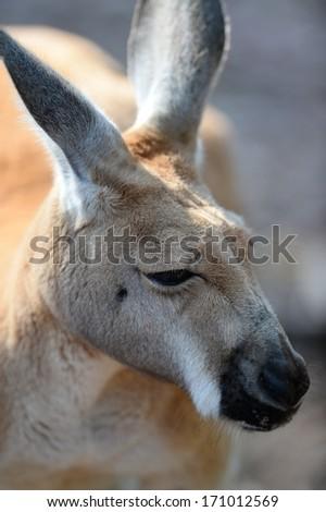 Australian big red kangaroo in open bushland - stock photo