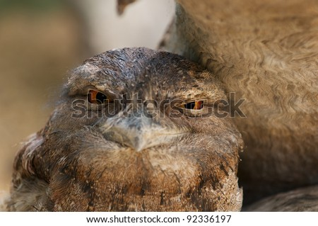Australian bird -  Papuan Frogmouth (Podargus papuensis or Tawny Frogmouth) - stock photo