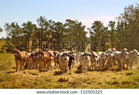Australian brahman beef cattle line, red cows, grey cow, live animals on ranch - stock photo