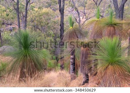 Australian Bush with Grass Trees (Black Boys), Australia - stock photo