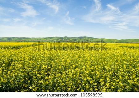 Australian canola field in the Barossa Valley, South Australia - stock photo