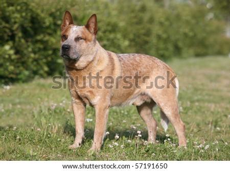 Australian Cattle Dog - stock photo