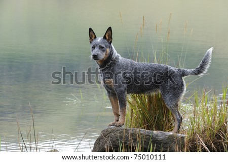 australian cattle dog (aka blue heeler)  puppy poses on a rock at the edge of a lake.