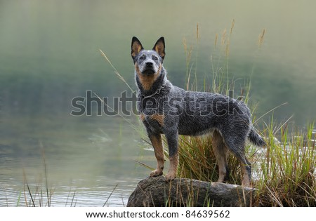 australian cattle dog, aka blue heeler, Troutnip Pandablue, a pedigreed  puppy ages six months - stock photo