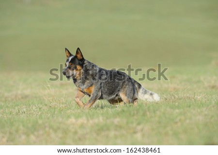 Australian Cattle Dog, aka Blue heelers. Karte Dinkum Aussie, a pedigree male cattle dog on a farm, Himeville, Kwazulu Natal, South Africa