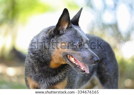 Australian Cattle Dog bitch. aka Blue Heelers. A cross between Dingo and Smithfield Herder A.C.D's are a breed much admired for their energy, intelligence, loyalty and stamina.  - stock photo