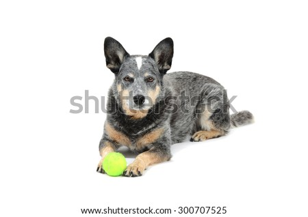 Australian cattle dog blue heeler with ball isolated on white background - stock photo