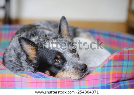 Australian Cattle Dog  feeds her 18 day old puppy. Aka Blue Heelers, they are born white and take on their natural brindled blue as they grow.  - stock photo
