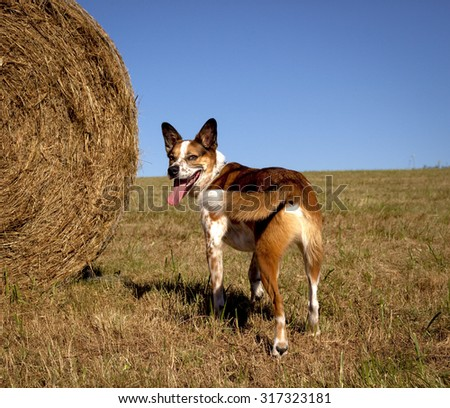 Australian cattle dog in field with hay bale on left looking at viewer - stock photo
