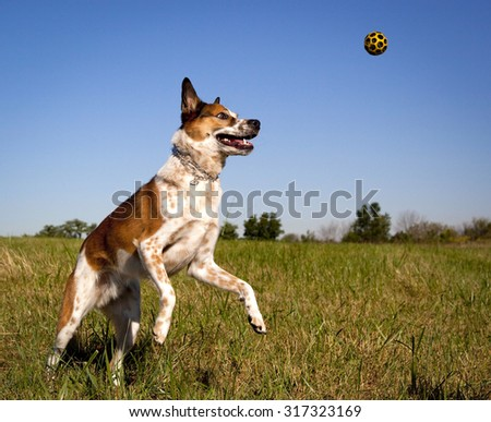 Australian cattle dog in mid leap to the right trying to get orange ball - stock photo