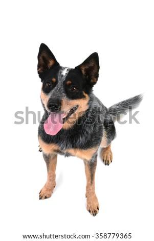 Australian cattle dog isolated on white background - stock photo