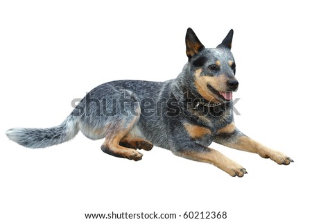 Australian Cattle Dog isolated with clipping path - stock photo