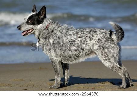 Australian cattle dog posing by San Francisco Bay, California. - stock photo