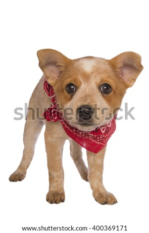 Australian cattle dog pup wearing bandanna scarf isolated - stock photo
