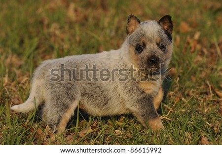 australian cattle dog puppy aged four weeks - stock photo