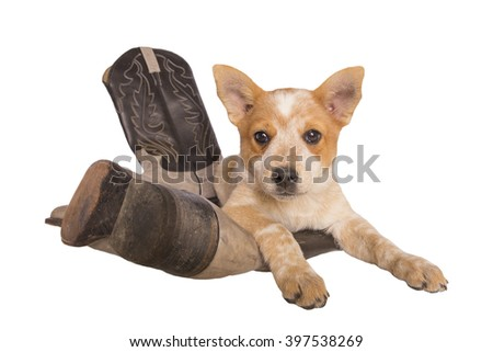 Australian cattle dog puppy lying on cowboy boots isolated on white - stock photo