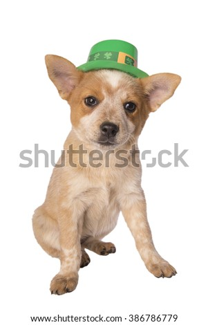 Australian cattle dog puppy with Saint Patrick's Day hat isolated on white