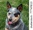 Australian Cattle Dog with Black Eye Patch - stock photo