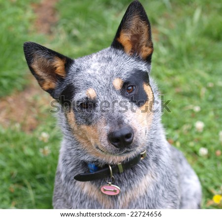 Australian Cattle Dog with Black Eye Patch - stock photo