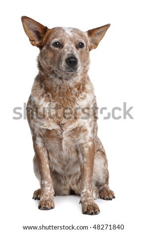 Australian Cattle Dog, 2 Years Old, sitting in front of white background - stock photo